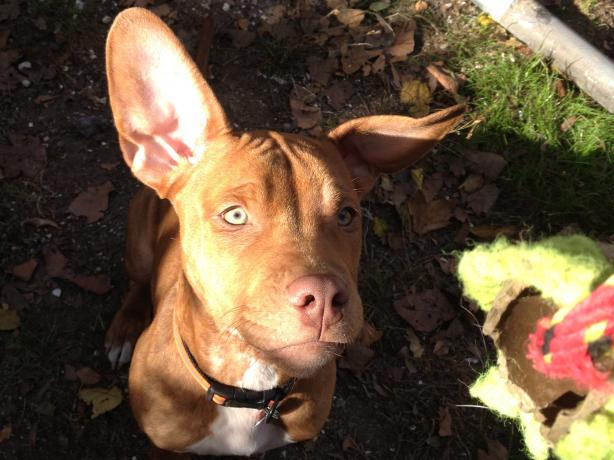 Dog Ear Cleaner