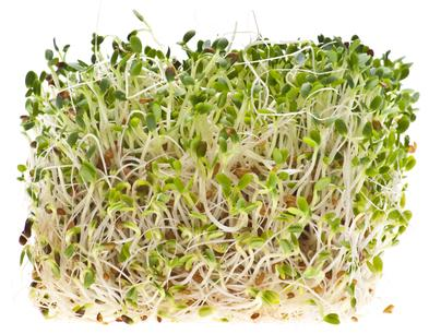 How to Sprout Alfalfa