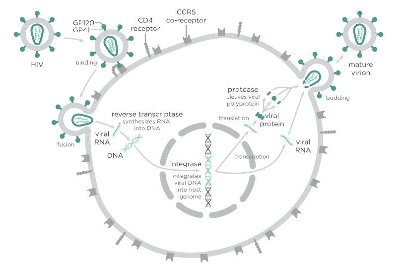 Fig 1 - The process of HIV infecting and reproducing within cells.
