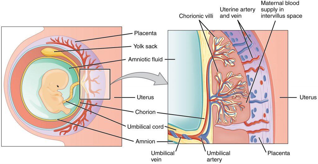fetal membranes