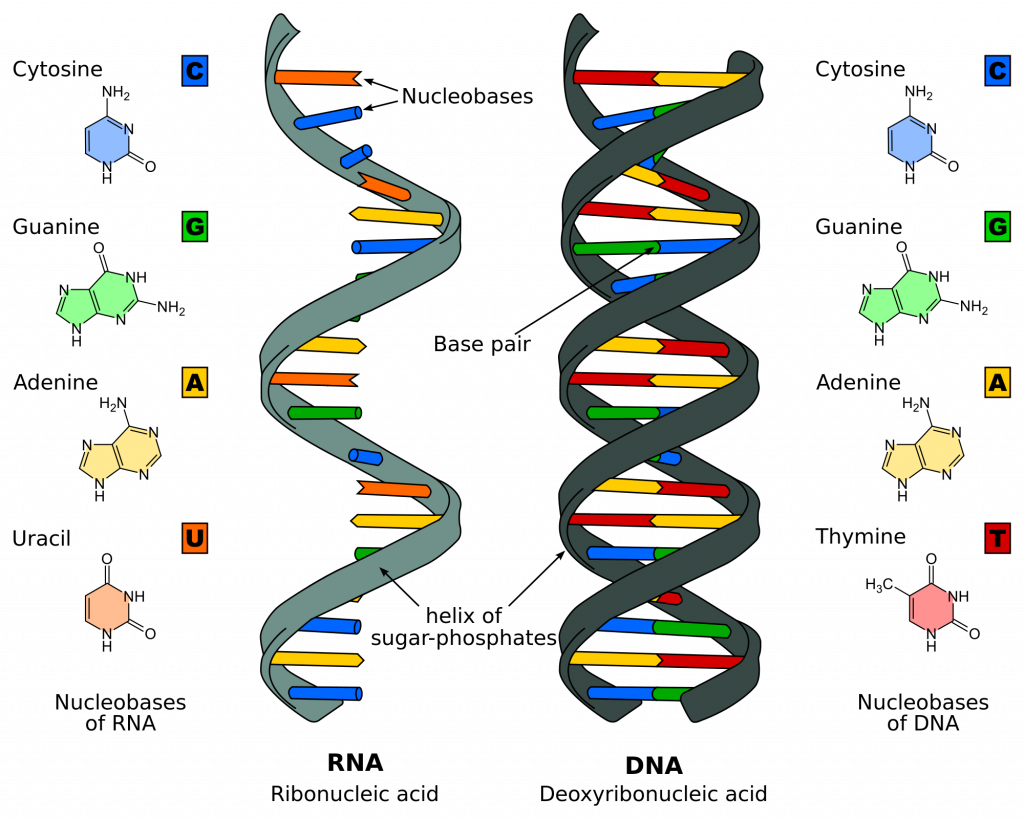dna replication - structure - stages of replication - teachmephyiology