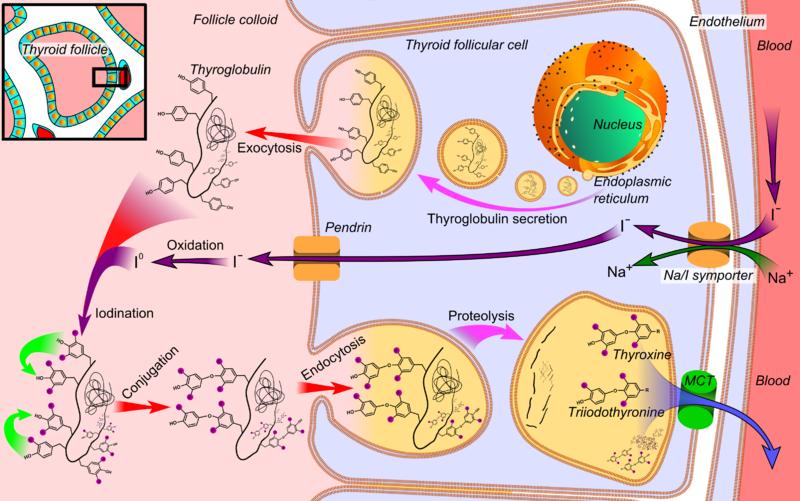 Thyroid_hormone_synthesis
