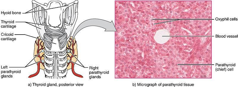 parathyroid histology
