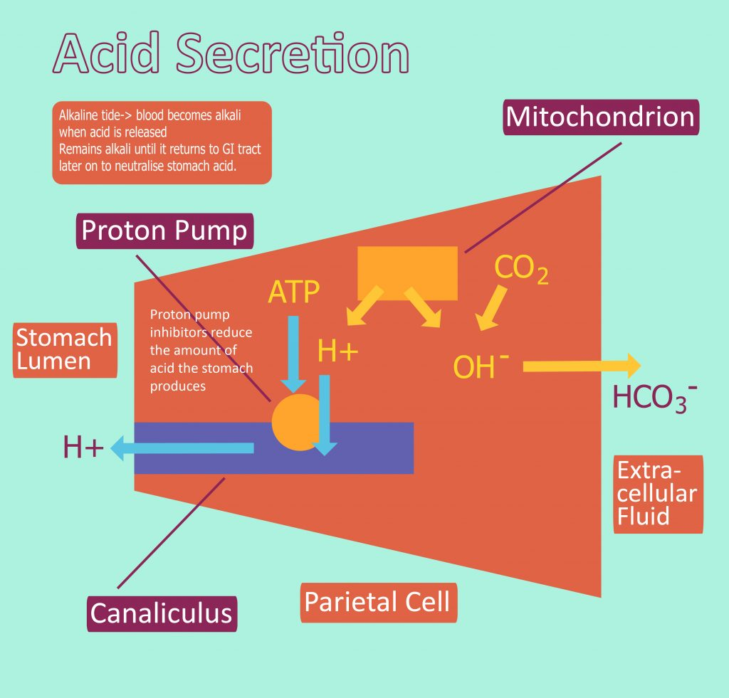 Acid Production Hydrochloric Acid Regulation Teachmephysiology