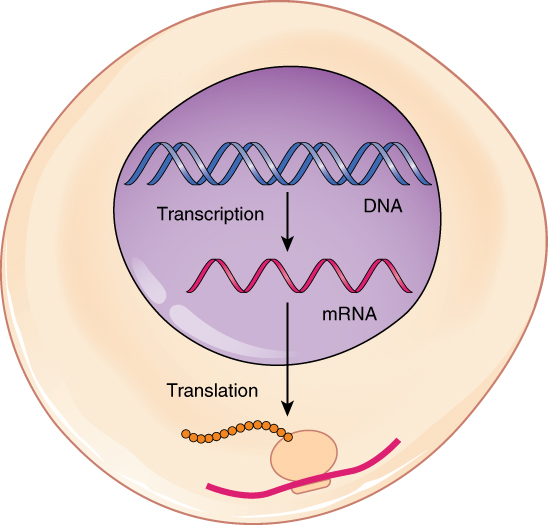 0328_Transcription translation_Summary translation of dna initiation elongation termination