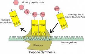 Fig Elongation step of translation. tRNA is leaving the E site, Lys is occupying the P site and Asp is occupying the A site