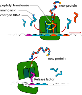 311px TRNA_ribosomes_diagram_en translation of dna initiation elongation termination