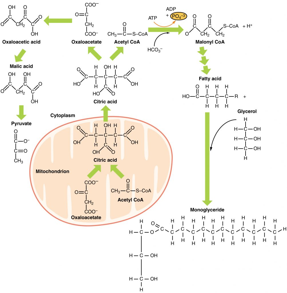 Metabolic Functions Of The Liver Carbohydrates Lipids
