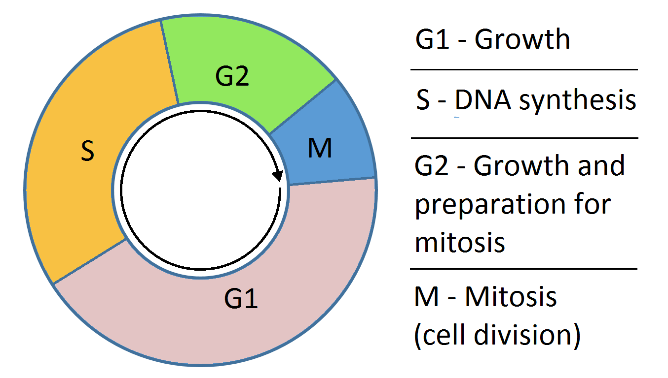 different phases of mitosis