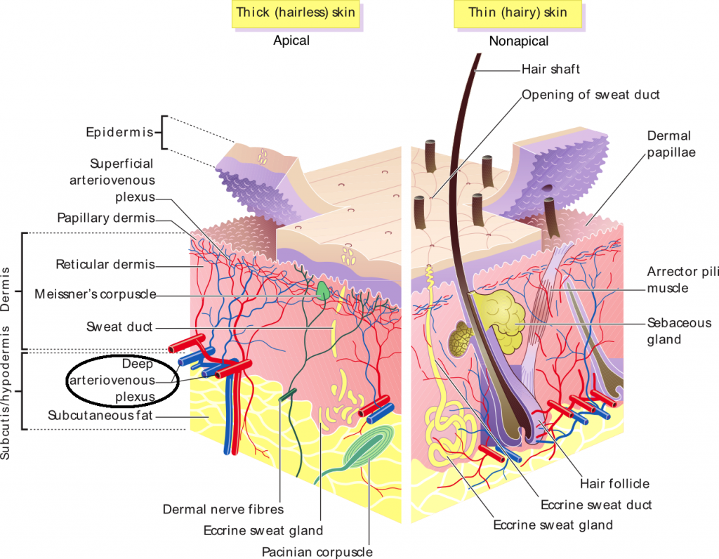Arteriovenous anastamoses involved in the cutaneous circulation of apical skin