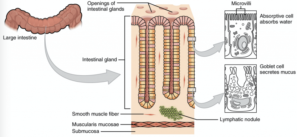 Absorption In The Large Intestine Regulation Teachmephysiology