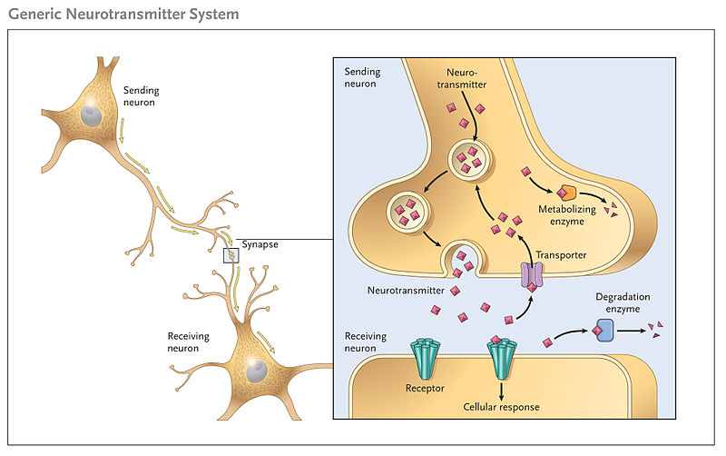 Cartoon showing the stages of neurotransmission including storage, release, re-uptake and degradation of neurotransmitter and the activation of a post-synaptic neurone