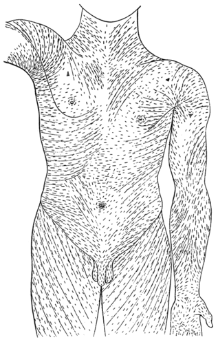 Fig 1 – Langer's lines of the torso. Incisions made parallel to these lines may heal better and produce less scarring than those that cut across.