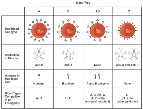 Table 1 - The ABO blood group, with antigens and antibodies.