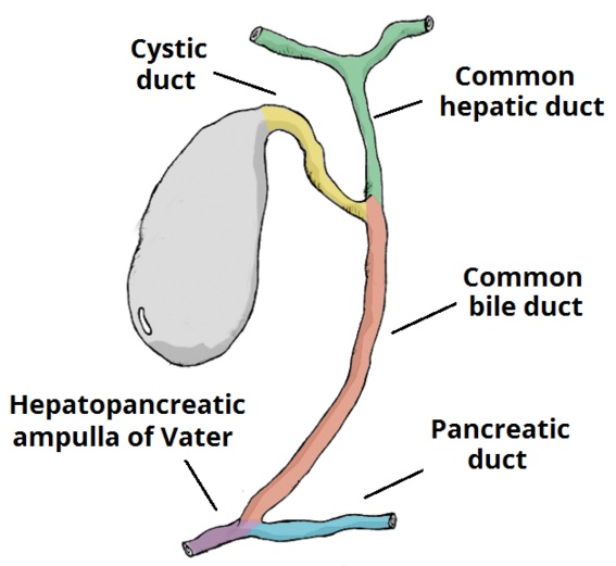 Fig 1 - The biliary system, which transports bile from the gallbladder to the duodenum.
