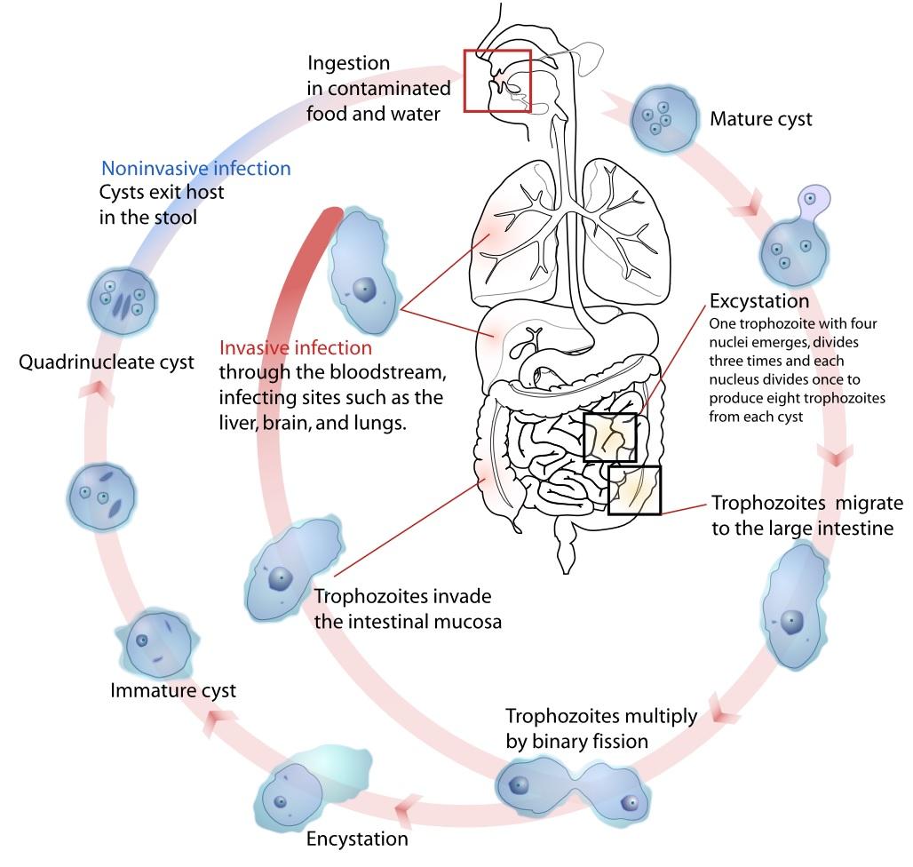 Fig 3 - The life cycle of entamoeba histolytica.