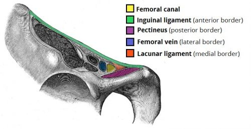 Figure 1 - Borders of the Femoral Canal