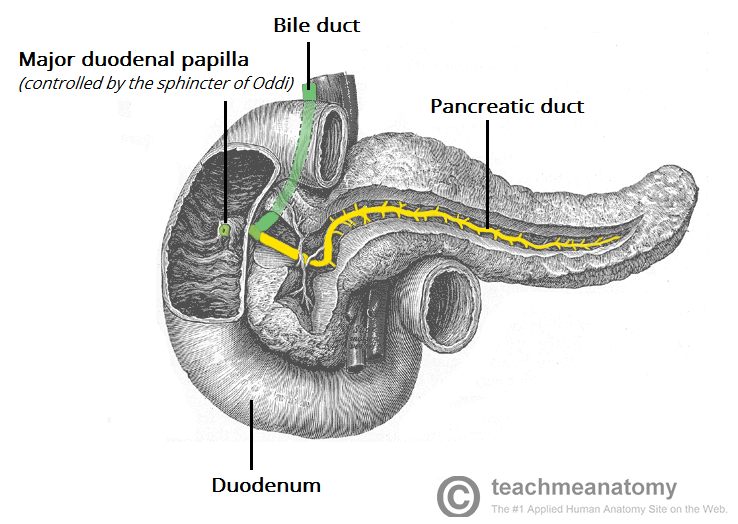 Fig 1 - The pancreatic duct. Obstruction of the duct, by stricture or neoplasm, can result in chronic pancreatitis.