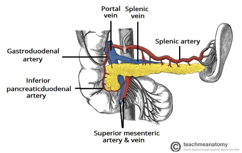 Fig 3 - The vascular supply to the spleen.