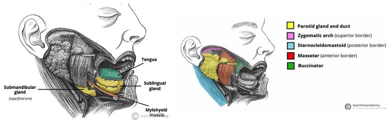 Fig. 1 - The Salivary Glands
