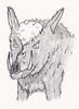 Bald boar