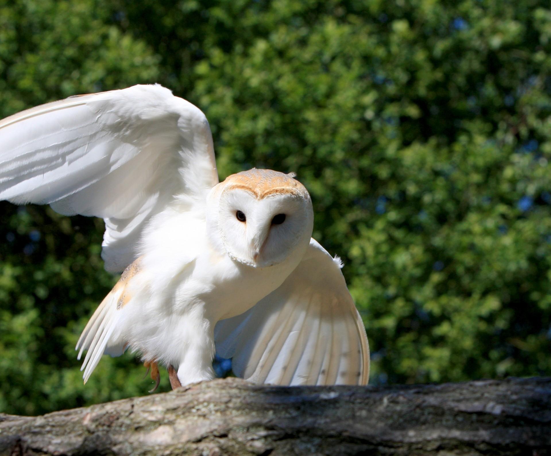 Barn owl 1379882429dtp