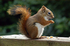 Image.americanredsquirrel