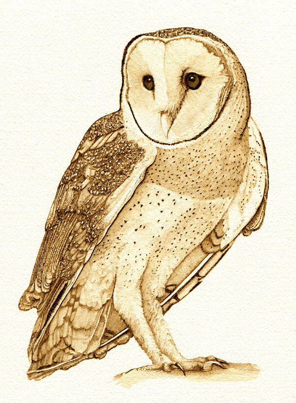 Barn owl 5 cate mccauley