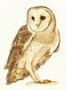 Barn owl 5 cate mccauley