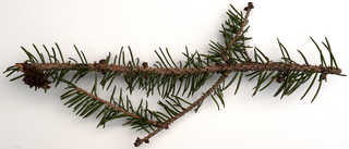 Conifer cones and needles 0001