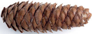 Conifer cones and needles 0007