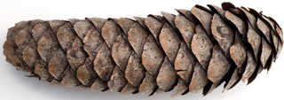 Conifer cones and needles 0010