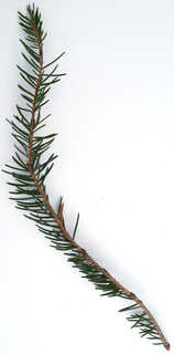 Conifer cones and needles 0012