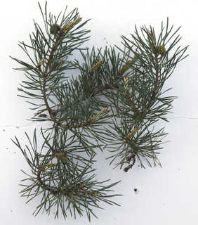 Conifer cones and needles 0013