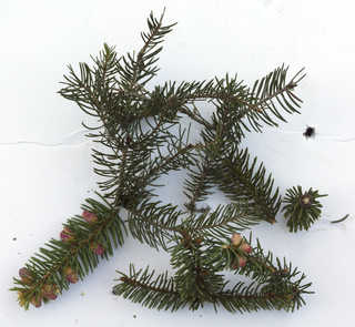 Conifer cones and needles 0014