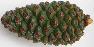 Conifer cones and needles 0016