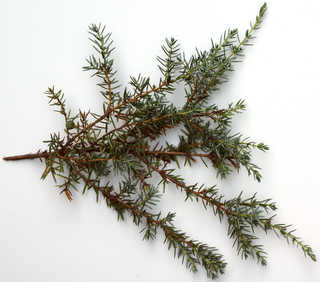 Conifer cones and needles 0017