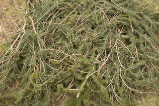 Texture of /plants/conifer-cones-and-needles/conifer-cones-and-needles_0018_01