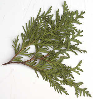 Conifer cones and needles 0022