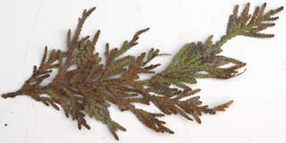Conifer cones and needles 0023