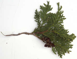 Conifer cones and needles 0024