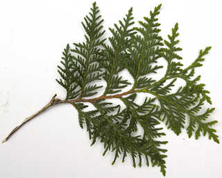 Texture of /plants/conifer-cones-and-needles/conifer-cones-and-needles_0025_03