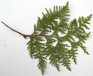 Texture of /plants/conifer-cones-and-needles/conifer-cones-and-needles_0025_04