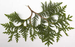 Texture of /plants/conifer-cones-and-needles/conifer-cones-and-needles_0025_05
