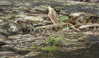 Decomposing tree trunks 0005