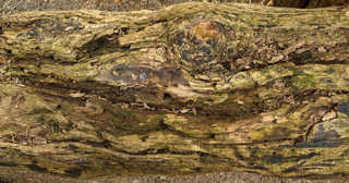 Decomposing tree trunks 0013