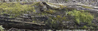 Decomposing tree trunks 0023