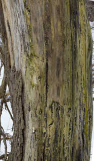 Smooth tree bark 0003