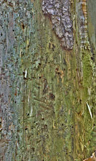 Smooth tree bark 0015