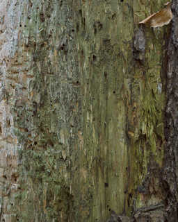 Smooth tree bark 0016
